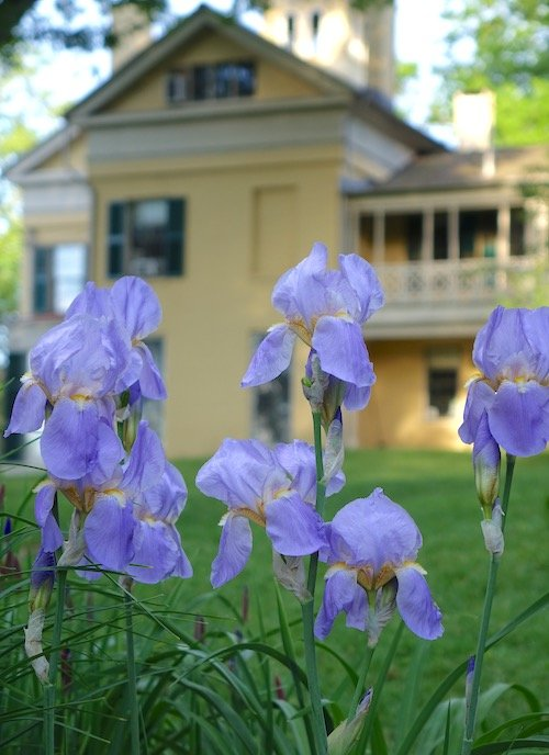 Emily Dickinson museum - Irises