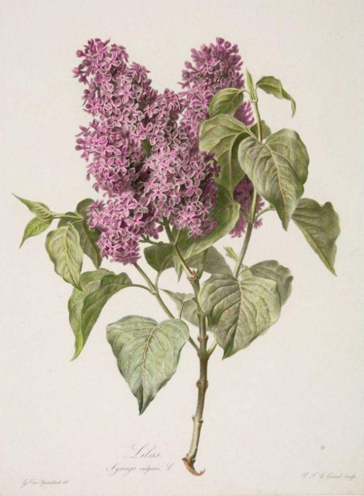 Lilacs botanical illustration