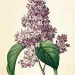 Lilacs by Amy Lowell (1922) — the poet's own favorite