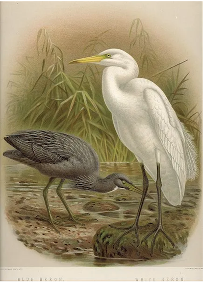 Blue and white herons — 19th century illustration