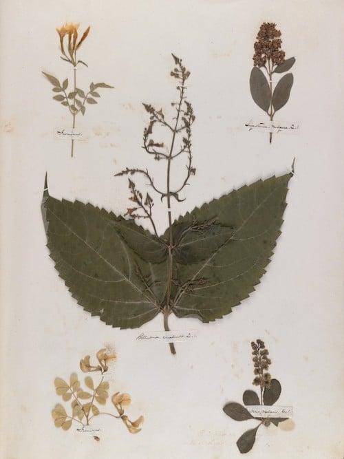 Emily Dickinson's herbarium page