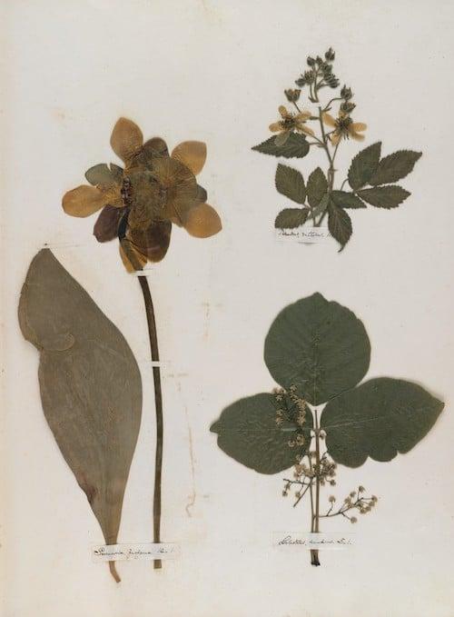 Emily Dickinson's herbarium6