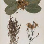 Preserving Nature: Emily Dickinson's Herbarium